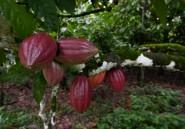 Cacao: les petits planteurs ivoiriens entre pauvreté et découragement