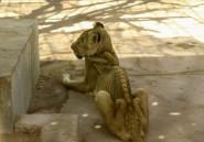 """Soudan: multiplication des appels pour sauver cinq lions """"malades et mal-nourris"""""""