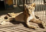 Soudan: des vétérinaires tentent de sauver les lions mal-nourris d'un zoo