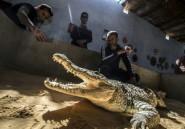 Les crocodiles du Nil, animaux de compagnie des Nubiens d'Assouan