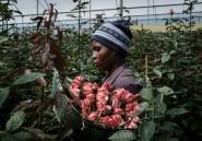 Au Kenya, le coronavirus met la filière des roses