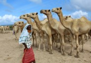 Hajj réduit: les éleveurs somaliens sur la paille
