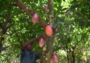 """Cacao: les planteurs ivoiriens menacent de """"boycott"""" les multinationales du chocolat"""