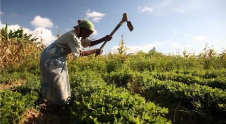 Groundnut farmer in Malawi, by ILRI via Flickr CC