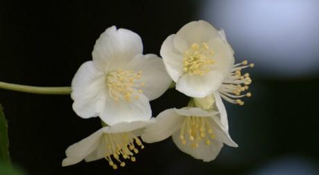 Fleur de jasmin  by akk_rus via Flickr