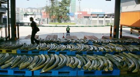 Saisie de défense d'éléphants provenant du Cameroun. REUTERS/Paul Yeung.