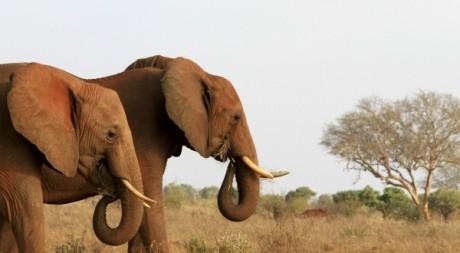 Elephants au Kenya le 11 février 2011. Reuters/Noor Khamis
