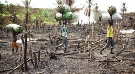 Travailleurs portant du charbon de bois bien que l'exploitation forestière soit illégale en Sierra Leone REUTERS/Finbarr OReilly