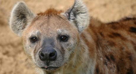 Hyène © mape_s/flickr