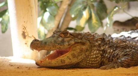 Aligator, by Pedro Lozano via Flickr CC.