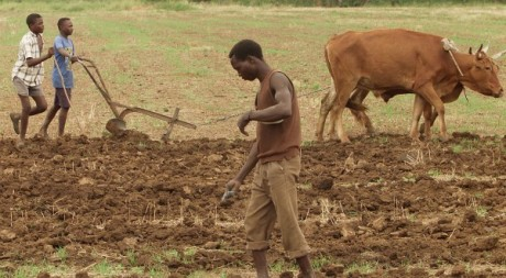 Un paysan zimbabwéen dans un champs de coton à Bindura, le 28 novmbre 2000. REUTERS/Howard Burditt