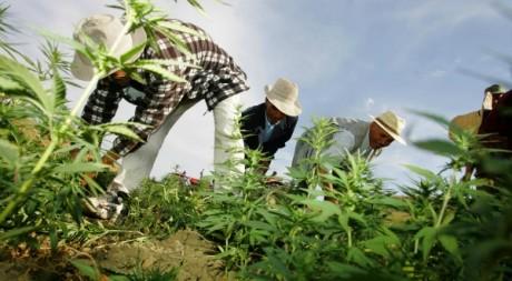 Destruction de plants de cannabis, Larache (nord du Maroc), 2006. © ABDELHAK SENNA / AFP