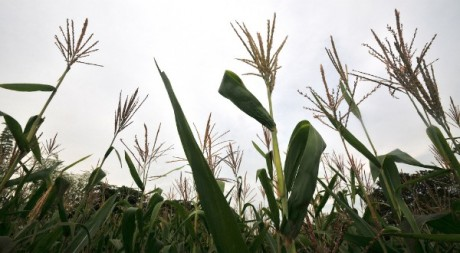 biofortified maize4, by Ciat via Flickr CC.