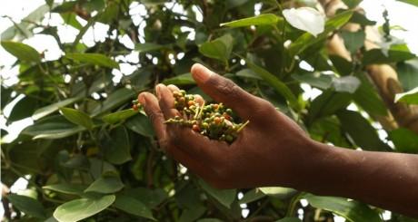 Cueillette du poivre de Penja / Flickr CC