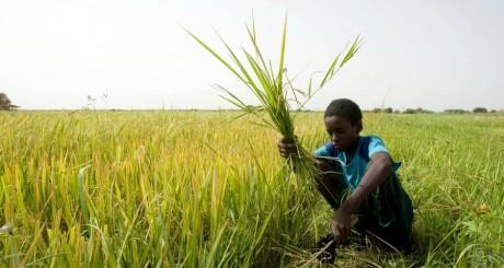 Champ de riz au Sénégal, 2008 / REUTERS