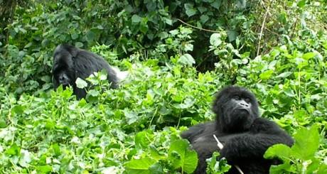 Gorilles du parc national des Virunga / Reuters