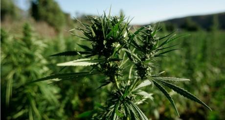 Plant de cannabis dans la région du Rif, près de Chefchaouen, 2008 / REUTERS