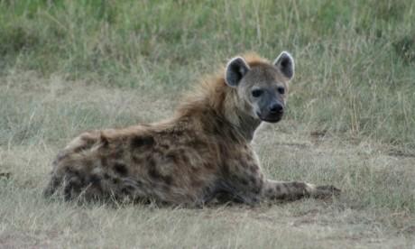 Hyène. Via Flickr. Virtualfredlamartina