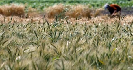 Un champs de blé en Egypte. Photo: REUTERS/Amr Abdallah Dalsh