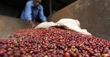Un travailleur verse des baies de café dans une usine kenyanne en 2014 (REUTERS/Thomas Mukoya)