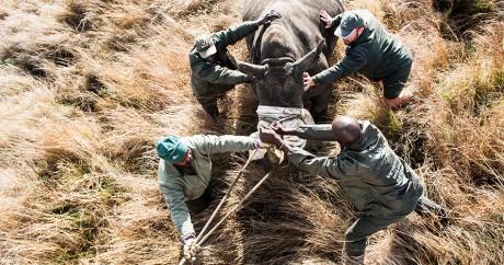 Des rangers du parc du Kruger déplacent un rhinocéros menacé par les braconniers le 17 octobre 2014. Photo: STEFAN HEUNIS / AFP