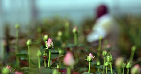 Une ferme de fleurs du lac Naivasha, en 2010. Crédit photo:  Crédit TONY KARUMBA / AFP