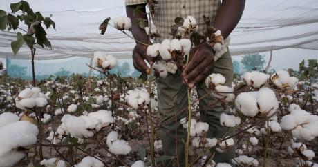 Une culture de coton transgénique au Burkina Faso en 2004. Crédit photo: ISSOUF SANOGO / AFP