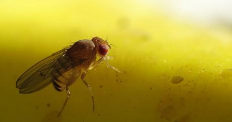 Une mouche à fruits. Crédit photo:  John Tann via Flickr, licensed by CC.