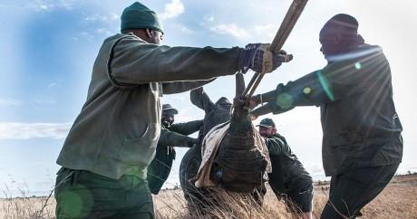 Des rangers du parc Kruger déplacent un rhinocéros en danger, en octobre 2014. Crédit photo: STEFAN HEUNIS / AFP