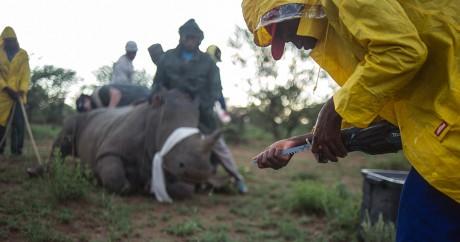 Des rangers du ranch de John Hume coupent la corne d'un rhinocéros anesthésié. Crédit photo: AFP/Mujahid Safodien.