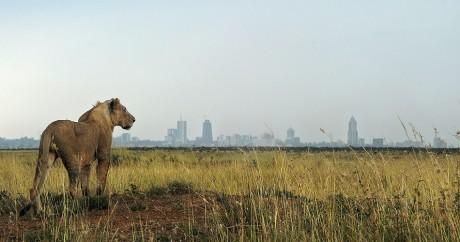 Un lion dans le parc national de Nairobi, le 10 août 2015. Crédit photo: TONY KARUMBA / AFP
