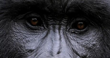 Gros plan d'un gorille dans le parc des Virunga, le 28 novembre 2008. Crédit photo: ROBERTO SCHMIDT / AFP