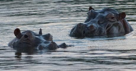 Des hippopotames issus de la ménagerie de Pablo Escobar en Colombie, en 2008. Crédit photo: RAUL ARBOLEDA / AFP