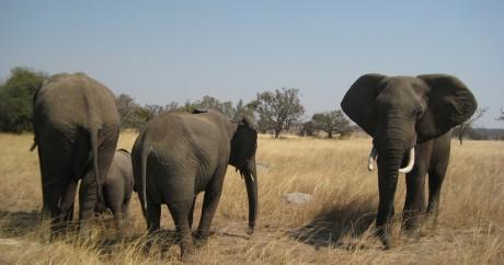 Des éléphants au Zimbabwe. Photo Frankdoylezw via Flickr. CC BY 2.0