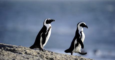 Des pingouins africains sur la plage de Simon's town près du Cap, en mars 2011. STEPHANE DE SAKUTIN / AFP