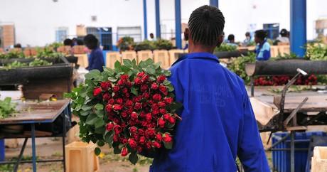 Une ferme à fleurs à Naivasha au Kenya, le 12 février 2015. SIMON MAINA / AFP
