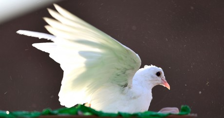 Une colombe, symbole de la paix, au Vatican, le 1er octobre 2016. VINCENZO PINTO / AFP