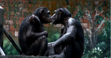 Apes. Photo: Phalinn Ooi via Flickr CC BY