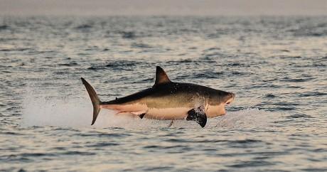 Un grand requin blanc au large du Cap, le 4 juin 2010. CARL DE SOUZA / AFP