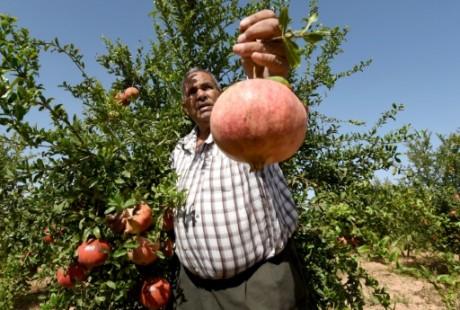 Un fermier tunisien tient une grenade à la main. Photo AFP
