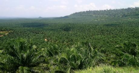 Une plantation d'huile de palme au Cameroun. Crédit photo: Lian Pin Koh via Flickr. CC BY
