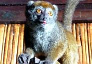 Pourquoi il faut sauver les lémuriens