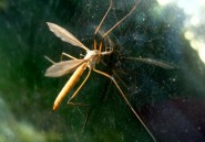 Alger terrorisé par un moustique jaune
