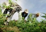 Il faut interdire d'interdire le cannabis