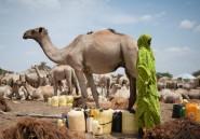 Le chameau malien de Hollande a fini dans une marmite