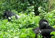 Il faut sauver les gorilles des Virunga