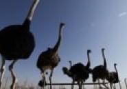Grippe aviaire : le virus détecté dans un élevage d'autruches en Afrique du Sud