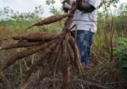 Le manioc : la plante des pauvres menacée en Afrique par un virus