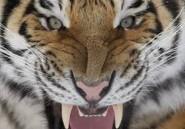 Une employée d'un zoo anglais tuée par un tigre