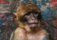Bouira : attaques de singes contre un village